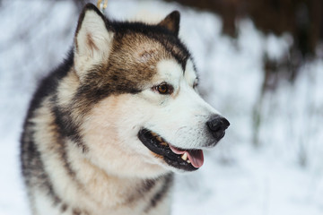 Husky dog lying in the snow background. Black and white Siberian husky with blue eyes on a walk in winter park.