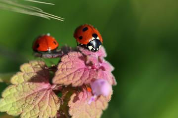 Ladybug (ladybird) on the meadow wildplant