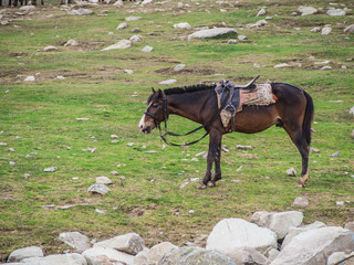 the horse standing on the green grass field in Kashmir , India