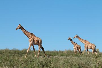 Giraffes (Giraffa camelopardalis) against a blue sky, Kalahari desert, South Africa.