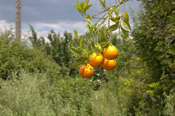Orange Fruit, Corfu, Greece