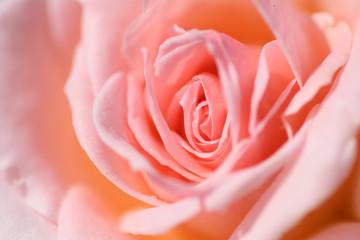 中之島公園バラ園の薔薇