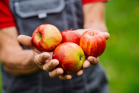 Mans  hands with freshly harvested apples. Agriculture and gardening concept.