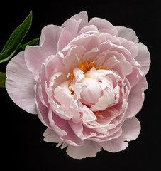 Fine art still life colorful floral macro flower image of a single isolated pastel pink open blooming young sunlit peony blossom with leaves on black background