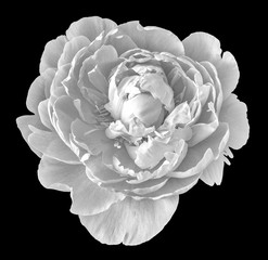 Fine art still life monochrome floral macro flower image of a single isolated open blooming young sunlit peony blossom on black background