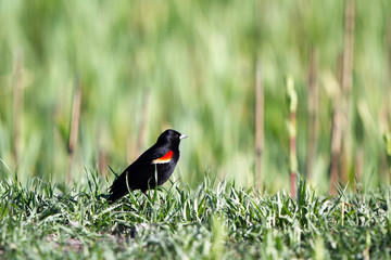 Red-winged Blackbird on a grassy rise in the marsh at Alamosa National Wildlife Refuge in southern Colorado