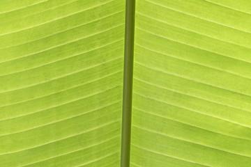 Texture di foglia verde controluce