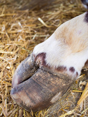 Bull's hoof on straw