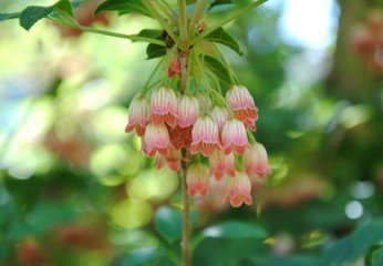 Creamy white bell-shaped flowers with red veins of redvein enkianthus (Enkianthus campanulatus)