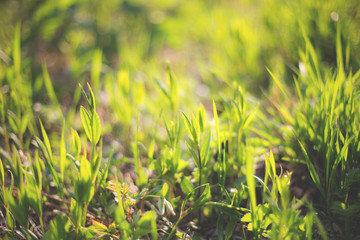 Natural background with fresh green grass in spring or summer season