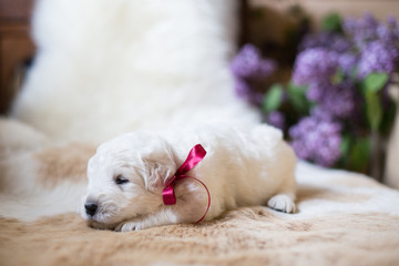 Profile Portrait of two weeks old maremma puppy with red ribbon sleeping on the cow's fur. Image of cute smiling white fluffy puppy breed maremmano abruzzese sheepdog.