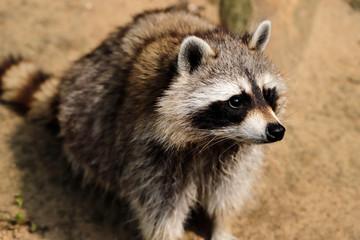 Full body of sitting common raccoon
