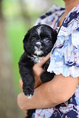 A black and white small puppy is holding by owner in a garden. Small dog in woman hands looking at the front in a park.