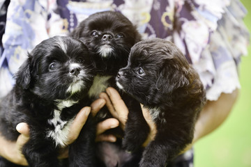 3 black and white small puppies in women hands looking front in daytime and sun ray lighting. Small dogs in owner hands in green garden.