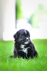 A black and white small puppy walking in a green garden with owner in daytime lighting. Portrait of black dog on a grass. Puppy looking front
