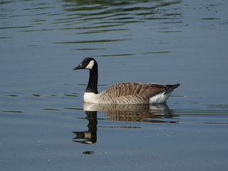 Canada goose (Branta canadensis) with reflection on water