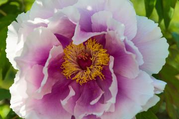 Blüte einer Pfingstrose mit Blütenpollen und Blütenstempel