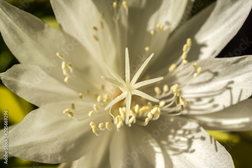 Macro white flower queen of night epiphyllum oxypetalum nocturnal macro white flower queen of night epiphyllum oxypetalum nocturnal very fragrant flower blooms at night mightylinksfo