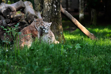 Paar eurasian lynxes in the forest