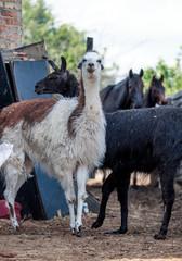 Llama alpaca posing for a portrait