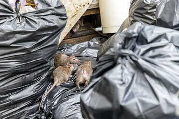 Mice in the garbage, old foam and black bags. Selective focus. Fototapete