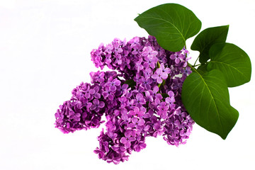 Foto op Aluminium Lilac Branch of a lilac isolated on white background