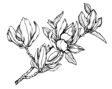 Branch of magnolia liliiflora (also called mulan magnolia) with flowers and leaves. Black and white outline illustration hand drawn work isolated on white background.