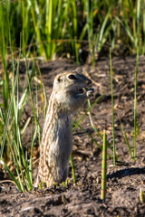 Thirteen-lined Ground Squirrel feeds in his natural habitat in the marsh at Alamosa National Wildlife Refuge in southern Colorado
