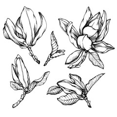 Set of blooming magnolia liliiflora (also called mulan magnolia) with flowers and leaves. Black and white outline illustration hand drawn work isolated on white background.