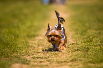 Yorkshire Terrier runs in the woods