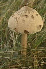 Kite Mushroom