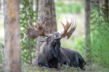 Bull Moose in Rocky Mountain National Park, Colorado