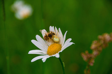 A bee and its predator (misumena vatia) on a flower
