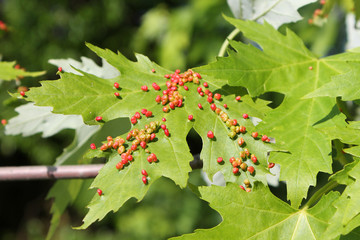 Gall caused by maple bladder-gall mite or Vasates quadripedes on Silver Maple (Acer saccharinum) leaf