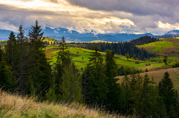 cloudy morning in Carpathian countryside. lovely nature scenery with spruce forest and grassy hills.