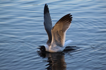 Seagull with open wings feeding in a lake
