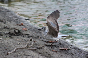 Seagull flapping its wings standing on the lake shoreline