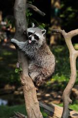 Lotor common raccoon climbing a tree