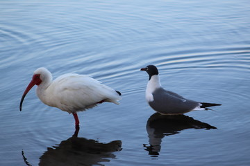 Seagull and a white ibis shorebird wading in the lake with water reflection