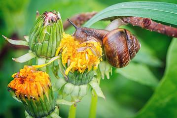 Common snail on the dandelion flower.
