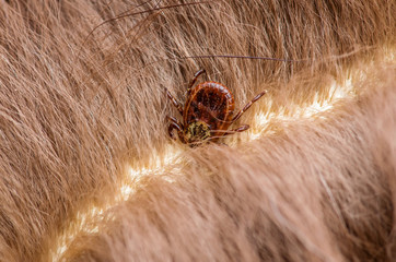 Encephalitis Virus or Lyme Disease Infected Tick Arachnid Insect on Animal Fur