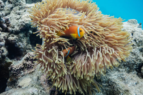 Anemonefish in the Madlives on the house reef of Makunudu Island in North Male Atoll