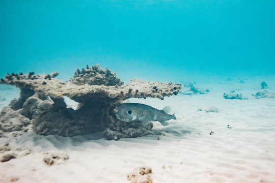 Porcupine fish hiding under a coral near the seabed in the Maldives