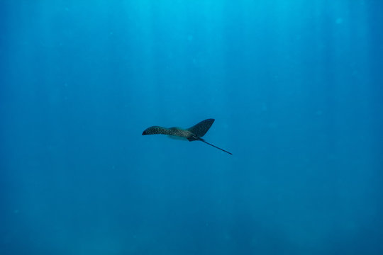 Spotted eagle ray over the house reef of Makunudu island in North Male Atoll, Maldives
