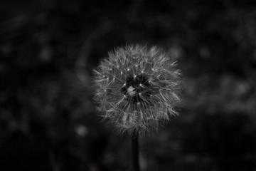 dark dandelion