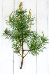 Pine branch with young shoots