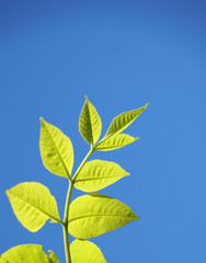 fresh green leaves growing in spring against blue sky