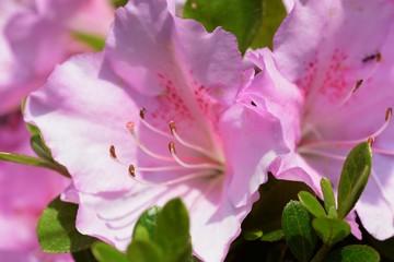 Photo sur Plexiglas Azalea Satsuki azalea / Rhododendron