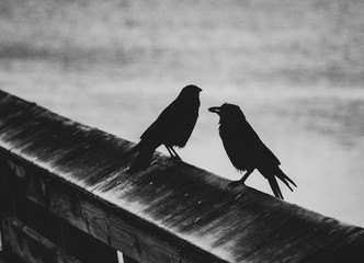 Black and white crow silhouette on a rail over water