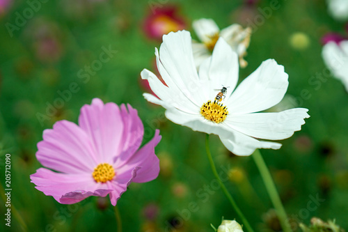 White and pink cosmos flower in the garden honey bee collecting white and pink cosmos flower in the garden honey bee collecting pollen on white cosmos mightylinksfo